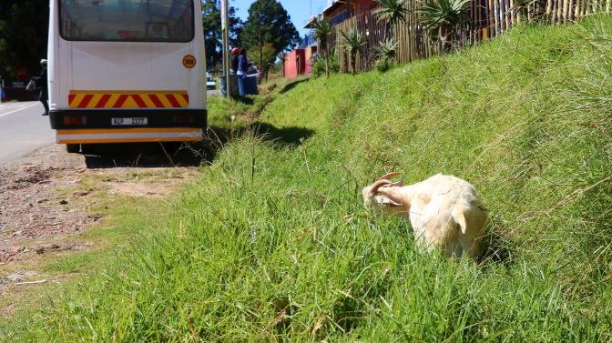 Moniquevanderwalt_cows_bulwer_kwazulunatal_canon_photography_southafrica (14)