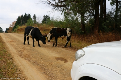 Moniquevanderwalt_cows_bulwer_kwazulunatal_canon_photography_southafrica (19)-2