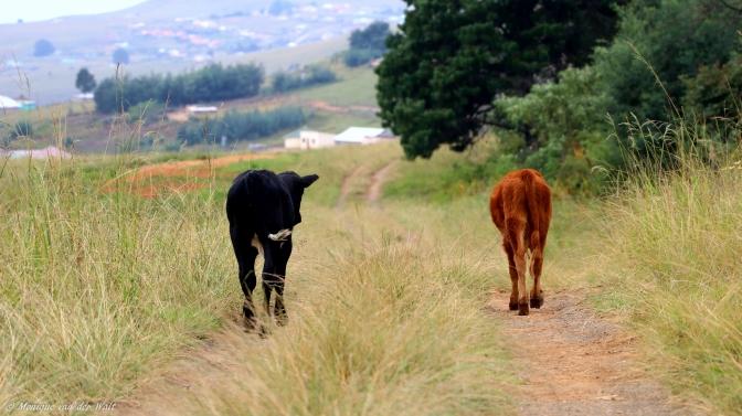 Moniquevanderwalt_cows_bulwer_kwazulunatal_canon_photography_southafrica (5)-2