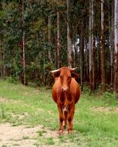 moniquevanderwalt_photography_cows_kwazulu_bulwerkzn-15.jpg