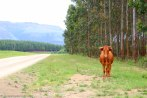 moniquevanderwalt_photography_cows_kwazulu_bulwerkzn (16).jpg