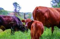 moniquevanderwalt_cows_kwazulunatal (1).jpg