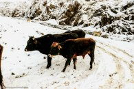 sanipass_cows_kwazulunatal (1).jpg