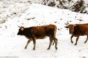 sanipass_cows_kwazulunatal (5).jpg